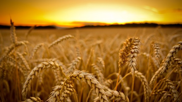 Picture taken from: http://wpwide.com/golden-wheat-threads-autumn-ready-harvest-wheat-wide-hd-wallpaper/